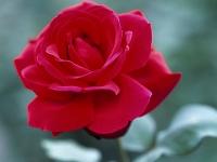 バラ(薔薇)