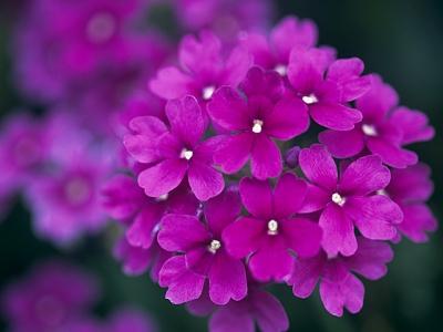 バーベナ 花 言葉